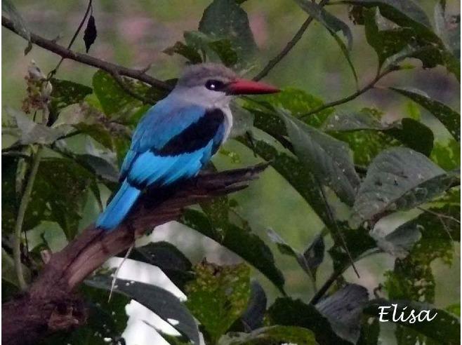 5089811-blue_bird_Ethiopia